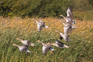 AS225 greylag geese in flight web
