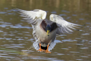 AS237 mallard oncoming flight web