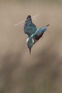 AS193 kingfisher dive portrait