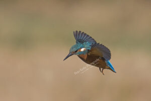 AS196 kingfisher flight