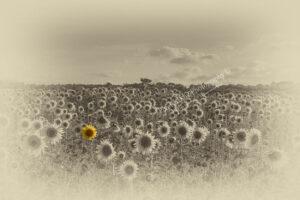 BA022 one sunflower pop web