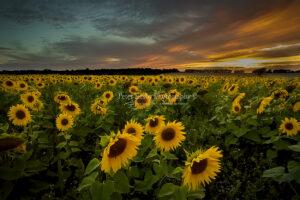 BA023 sunflower sunset web