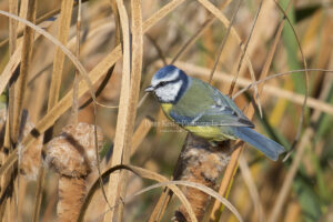 AS229 blue tit to the right web