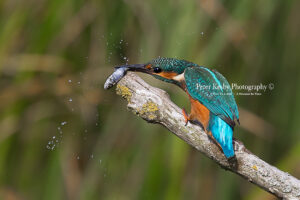 AS269 kingfisher smack fish web