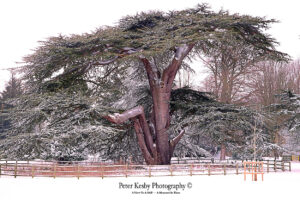 Kearsney Abbey - Cedar Tree - Snow