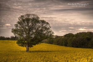 Tree - Rape Seed - Kingsdown