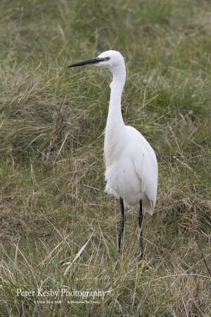 Little Egret #4