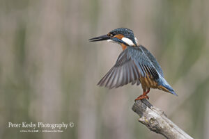 Kingfisher #10