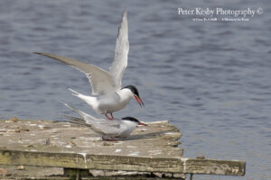 Common Terns #1