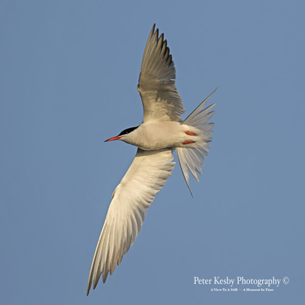 Tern In Flight #1