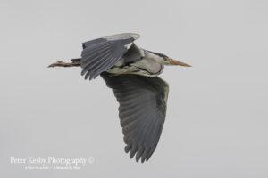 Grey Heron #5