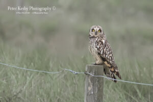 Short Eared Owl On A Post #1