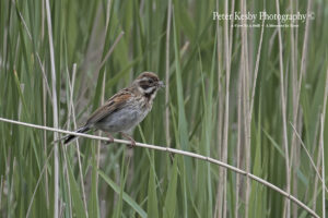 Reed Bunting #1