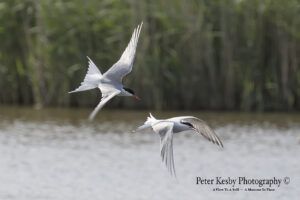 Common Terns #3