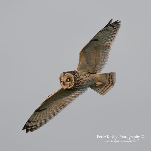 Short Eared Owl In Flight #3