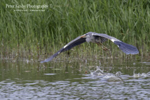 Grey Heron - Stealth Bomber