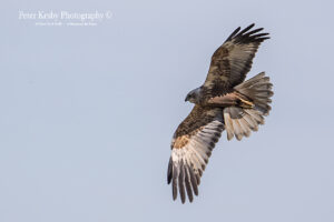 Marsh Harrier #1