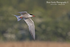Common Tern #1