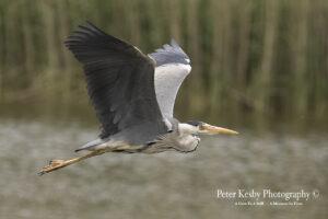 Grey Heron #7