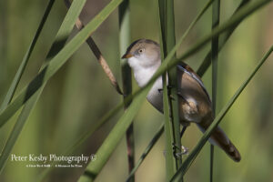 Bearded Reedling #1