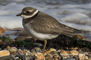 Ringed Plover #1