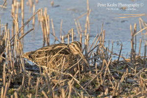 Common Snipe #1