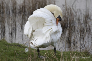 Swan In It's glory