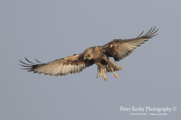 Marsh Harrier #2