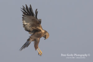 Marsh Harrier #3
