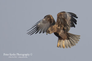 Marsh Harrier #4