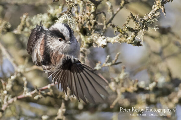 Long Tailed Tit #1