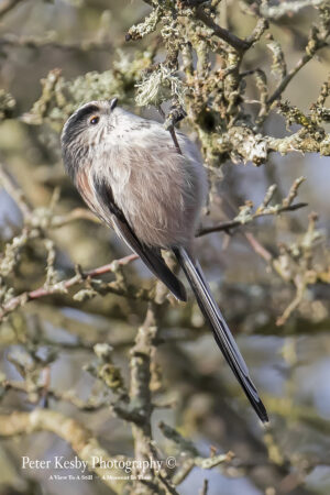 Long Tailed Tit #3