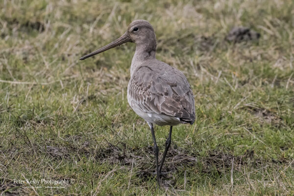 Black Tailed Godwit #2