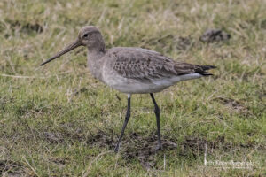 Black Tailed Godwit #3