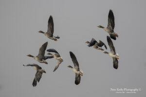 Greylag Geese In Flight #2