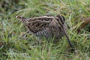Common Snipe #3