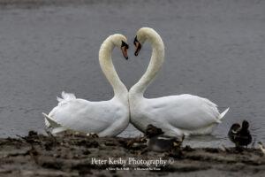 Swans - Love