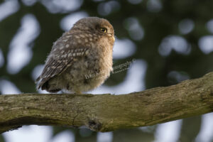 Little Owl #1