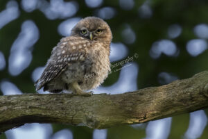 Little Owl #2