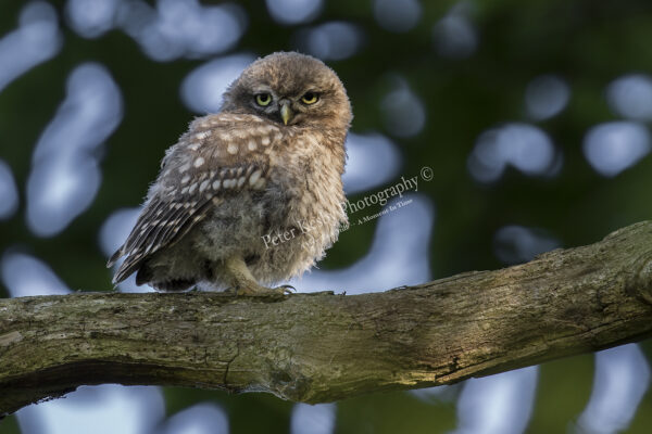 Little Owl #2