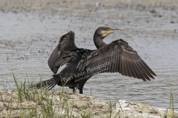 Cormorant #3
