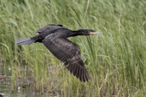 Cormorant #4