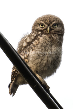 Little Owl On Telegraph Wire