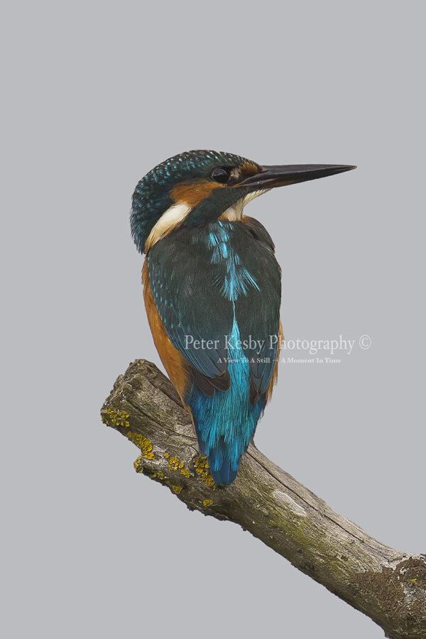 Kingfisher #31