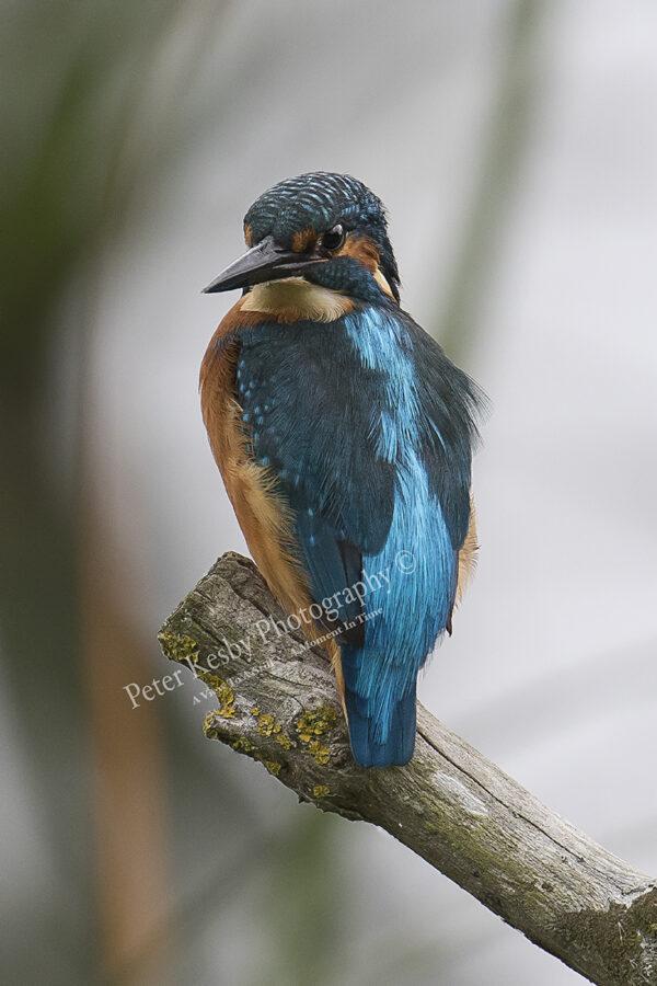 Kingfisher #33