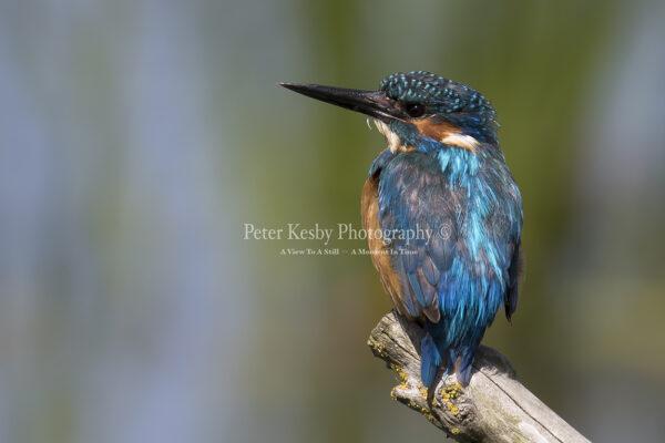 Kingfisher #34