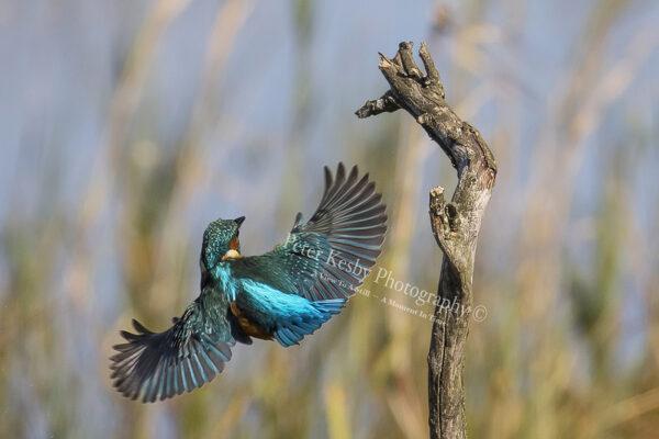 Kingfisher #38