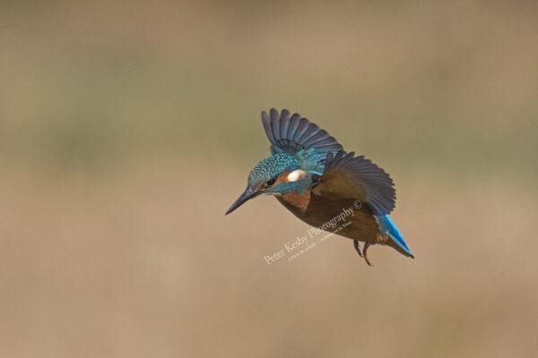 Kingfisher #40