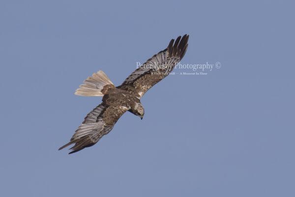 Marsh Harrier #5