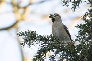 Hawfinch #1